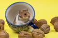 Young syrian hamster in tee cup portrait of approximation on yellow background Royalty Free Stock Photos