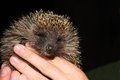 The young tame hedgehog is in hand Stock Photography