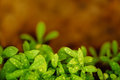 Young tarragon close up fresh leaves with dew drop healthy food concept Stock Photography