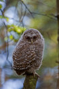 Young tawny owl is sitting alone on a branch in the forest Stock Images