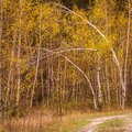 Young thin birches are bent by the wind Royalty Free Stock Photo