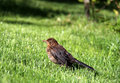 Young throttle blackbird on the green ones grazes Royalty Free Stock Photo