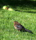 Young throttle blackbird on the green ones grazes Stock Photo