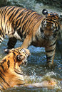 Young tigers  playing in water . Stock Images
