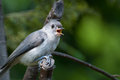 Young Titmouse Singing in a Tree Royalty Free Stock Photo