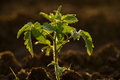 Young Tomato Plant Royalty Free Stock Photo