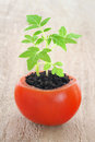Young tomato plant growing Royalty Free Stock Image