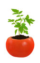 Young tomato plant growing, evolution concept Stock Photos