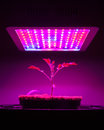 Young tomato plant under led grow light closeup view Stock Image