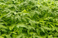 Young tomato plants Stock Images