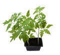 Young tomato plants Royalty Free Stock Photos