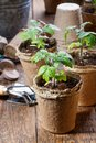 Young tomato seedling sprouts in the peat pots. Gardening concept Royalty Free Stock Photo