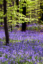 Young tree and bluebell carpet Royalty Free Stock Images