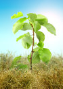 Young tree sprout through the dry grass on blue sky background studio photography art design Royalty Free Stock Images
