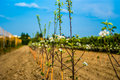 Young trees in a raw planted apple orchard Royalty Free Stock Photography