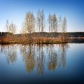 Young trees are reflected in lake water of a birch the spring Royalty Free Stock Photo