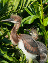 Young tricolored herons waiting for parents in nest Stock Photography