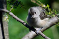 Young tufted titmouse all fluffed up a perched Stock Images