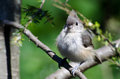 Young tufted titmouse all fluffed up a perched Royalty Free Stock Photos