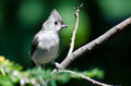 Young tufted titmouse perched on a branch Royalty Free Stock Photo
