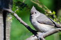 Young tufted titmouse perched on a branch in tree Stock Photos