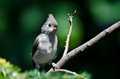 Young tufted titmouse perched in a tree Stock Photography