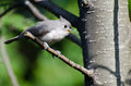 Young Tufted Titmouse Singing In A Tree