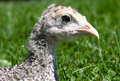 Young Turkey  Royalty Free Stock Photo