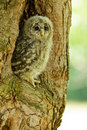 An young Ural Owl