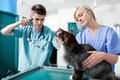 Young veterinarian doctors examining a cat in scrubs at clinic Royalty Free Stock Photography