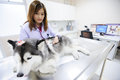 Young veterinarian at hospital examining cute siberian husky Stock Images