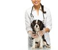 Young veterinary with spaniel positive brunette woman Stock Images
