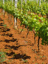 Young vineyard Stock Images