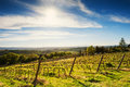 Young vineyard in the spring. Royalty Free Stock Photo