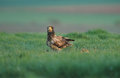 Young vulture on green grass Royalty Free Stock Photography