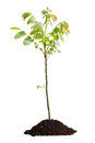 Young walnut tree isolated Royalty Free Stock Photo