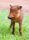 Young Warthog Royalty Free Stock Photography