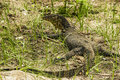 Young water monitor (Varanus Salvator) Stock Photos