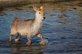 Young waterbuck in water Royalty Free Stock Images