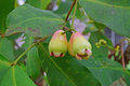 Young Wax Apples growing on tree with focus on the right fruit Royalty Free Stock Photo