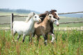 Young welsh ponnies running together on pasturage nice green Stock Photography