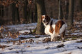 Young welsh springer spaniel nature Stock Image
