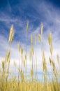 Mladý pšenice