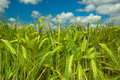 Young wheat closeup with blue sky Stock Image
