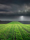Young wheat crop in field against large storm towards the big cloud and lighting Stock Photo