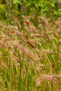 Young wheat growing in green farm field close up Royalty Free Stock Images
