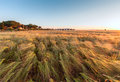 Young wheat growing in green farm field under blue sky on sunset Stock Images