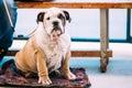 Young White and Brown English Bulldog Dog Royalty Free Stock Photo