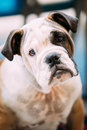 Young White and Brown English Bulldog Dog Royalty Free Stock Photo