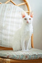 Young white cornish rex cat looking at photographer Stock Photography